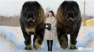 10 Abnormally Large Dogs