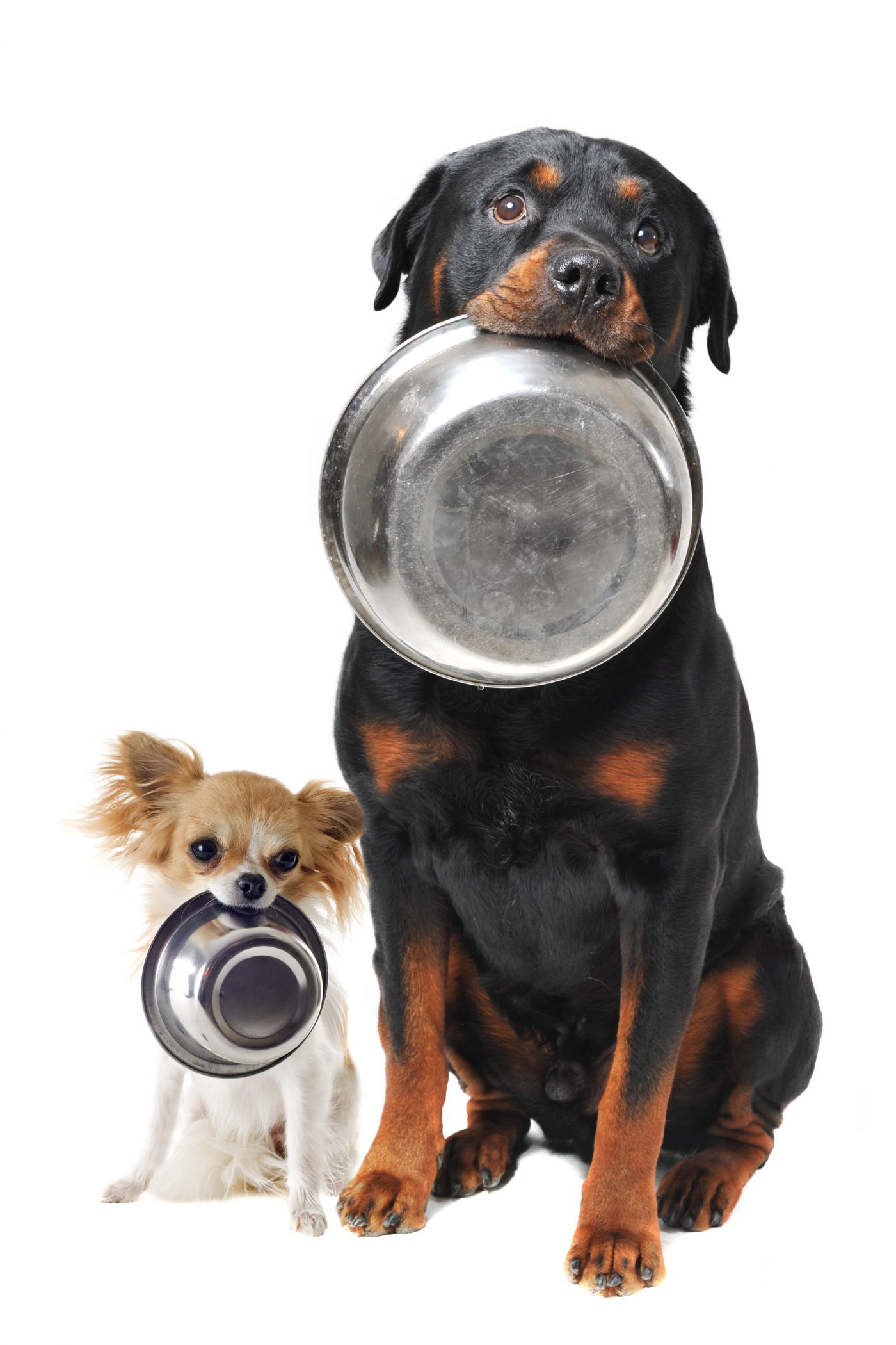 When to switch to adult dog food, for small and large breeds