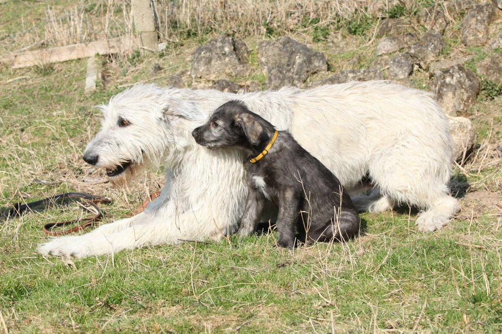 Irish Wolf Hound With Puppy, A Giant Breed.