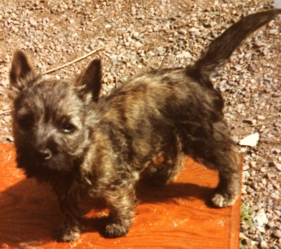 Emma the Cairn Terrier when puppy