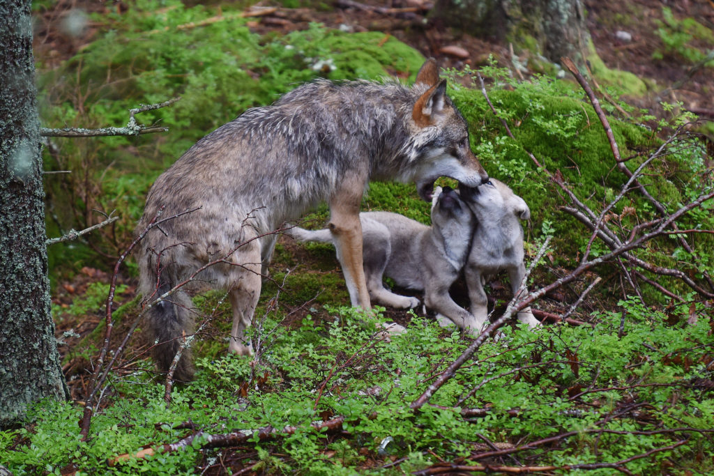 Gray wolf baby-sitting pups