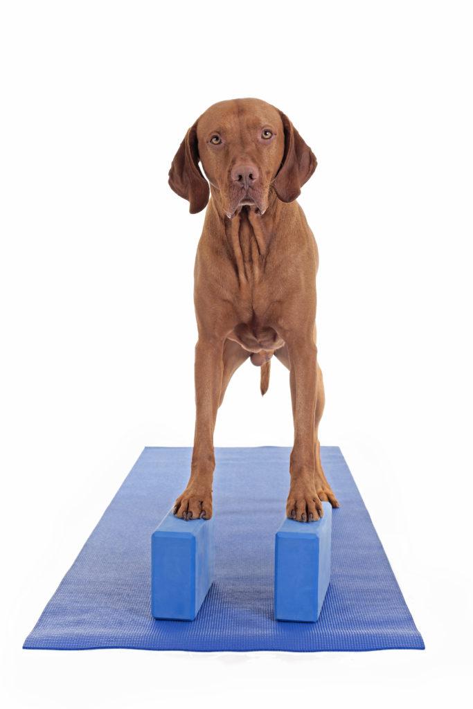 Dog balancing exercise
